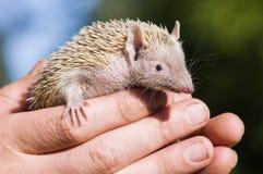 Tenrec Lesser Hedghog que es sostenido suavemente por el encargado de parque zoológico Imagenes de archivo