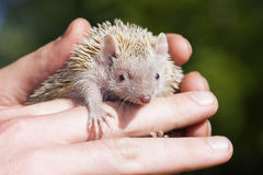 Tenrec Lesser Hedghog tenu doucement par le gardien de zoo Photos stock