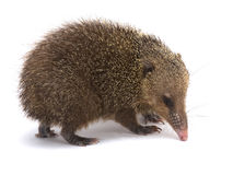 Tenrec (Tenrec ecaudatus). The Tenrec (Tenrec ecaudatus) is the largest member of its family. They are nocturnal omnivores endemic to Madagascar. They are also Stock Image