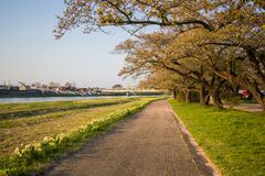 Beautiful walkway along Kitakami River at Tenshochi Park,Kitakami,Iwate,Tohoku,Japan. Tenshochi is located by the serene Kitakami River. It's famous for being royalty free stock photography