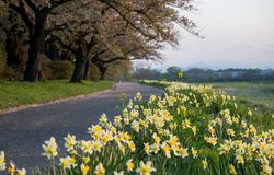 Daffodils along the walkway at Tenshochi Park,Kitakami,Iwate,Tohoku,Japan in spring.selective focus. Tenshochi is located by the serene Kitakami River. It's stock images