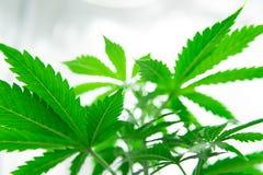 Tension légère du nord Développez-vous élèvent dedans la tente de boîte Plantation du cannabis Élevez le cannabis récréationnel j photos stock