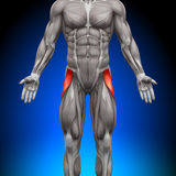 Tensor Fasciae Latea - Anatomy Muscles Royalty Free Stock Images