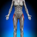 Tensor Fasciae Latea - Female Anatomy Muscles. Tensor Fasciae Latea - Female Human Anatomy Muscles stock illustration