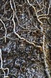 Tentáculo de la hiedra Fotografía de archivo libre de regalías