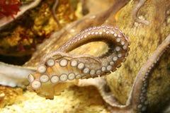 Tentáculo del pulpo Imagenes de archivo