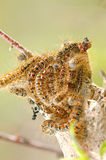 Tent Caterpillar Royalty Free Stock Photo