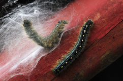 Tent caterpillar building a cocoon Stock Image