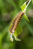 Tent caterpillar Stock Photos