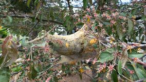 Tent Caterpillar Cocoon Between Blossoming Tree. A tent caterpillar cocoon between blossoming tree branches. Close up stock video footage