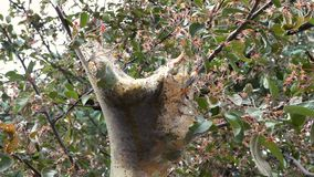 Tent Caterpillar Cocoon Between Blossoming Tree 3. A tent caterpillar cocoon between blossoming tree branches. Close up stock video footage