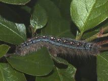 Tent Caterpillar Stock Images
