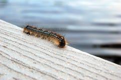 Tent Caterpillar. A tent caterpillar crawling along a white wooden dock Stock Photos