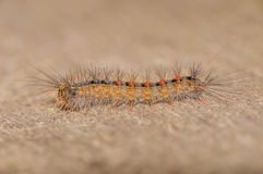 Tent Caterpillar Stock Photography