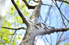 Tent caterpillar nest Stock Image