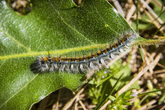 Tent Caterpillar Royalty Free Stock Image
