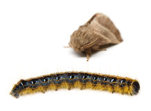 Tent Caterpillar With Moth Royalty Free Stock Image