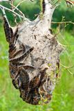 Tent Caterpillars Royalty Free Stock Images