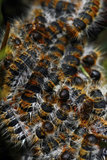 Tent-caterpillars. Swarm of many tent-caterpillars usually found on pine trees at a specific time of the year Stock Images