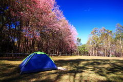 Tent with Cherry Blossom Garden Royalty Free Stock Photography