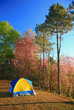 A tent on hill with Sakura pink flower on mountain in thailand, Stock Images