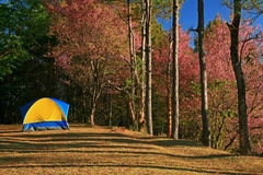 A tent on hill with Sakura pink flower on mountain in thailand, Stock Photography