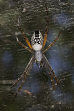 Tent Spider - Cyrtophora moluccensis Royalty Free Stock Photo