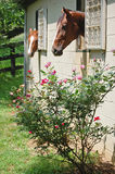 Tentação-Cavalos de Rosa nas tendas Imagens de Stock