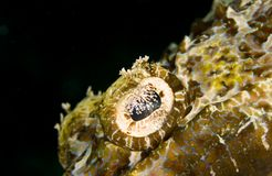 Tentacled flathead (Crocodile fish) eye Stock Photography