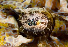 Tentacled flathead eye macro Royalty Free Stock Photo
