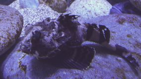 Tentacled flathead in saltwater aquarium stock footage video stock footage