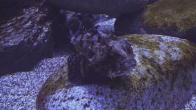 Tentacled flathead in saltwater aquarium stock footage video stock video