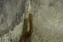Tentacled Snake (Erpeton Tentaculatum) Stock Photography