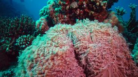 The tentacles of the coral wave in a stream of water. Static video, coral reef in the Red Sea, Abu Dub. Life coral reef. stock video