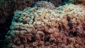 The tentacles of the coral wave in a stream of water. Static video, coral reef in the Red Sea stock video footage