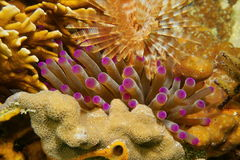 Tentacles of sea anemone between coral and worm Stock Photo