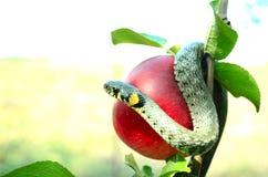 Tentador de la serpiente Fotografía de archivo