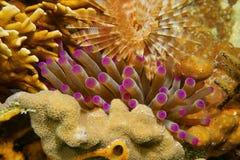 Tentakels van zeeanemoon tussen koraal en worm Stock Foto