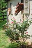 Tentation-Chevaux de Rose dans les stalles Images stock