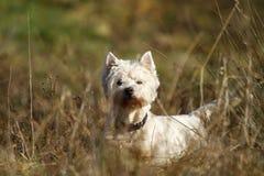 Tentations de chien terrier image libre de droits