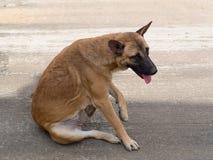 Tentativa do cão a riscar sua pele Fotos de Stock Royalty Free