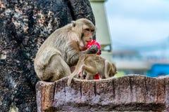 Tentativa do macaco para abrir a garrafa do suco Fotografia de Stock