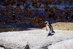Tentative Steps. Jackass penguin making tentative steps Royalty Free Stock Photo
