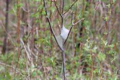 Tente Caterpillar orientale - americanum de Malacosoma Images stock