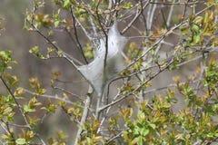 Tente Caterpillar orientale - americanum de Malacosoma Images libres de droits