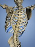 Tenth Rib, Rib Cage, 3D Model Stock Images