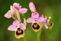 Tenthredinifera Ophrys, орхидея пилильщика, Gargano в Италии Цветя европейская земная одичалая орхидея, среда обитания природы Кр стоковые фото