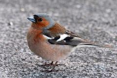 Tentilhão do pássaro próximo olhando o Fotografia de Stock Royalty Free