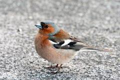 Tentilhão do pássaro próximo olhando o Imagens de Stock