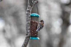 Tentilhão no alimentador do pássaro Fotografia de Stock Royalty Free